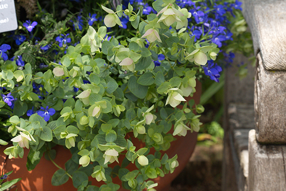 Container featuring Kent Beauty oregano