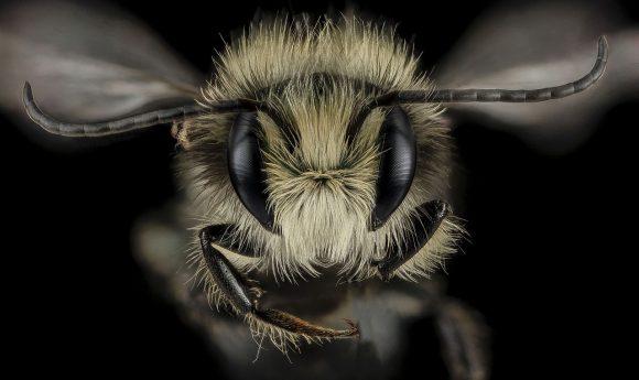 PHOTO: Mason bee (Osmia lignaria)