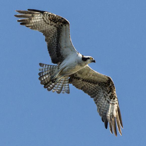 PHOTO: Osprey in flight.