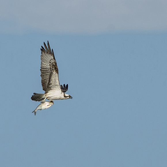PHOTO: An osprey keeps a tight grip on lunch.