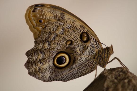 PHOTO: Caligo atreus ventral wing spots.
