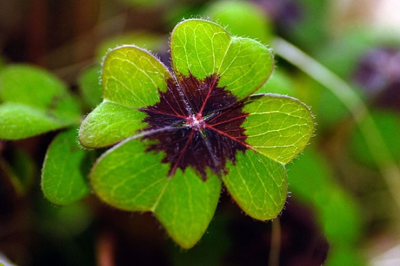 PHOTO: Oxalis tetraphylla (four leaf clover).