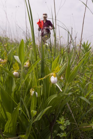 PHOTO: The beautiful Cypripedium candidum, one of the many rare plants Plants of Concern monitors.
