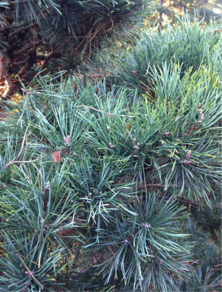 PHOTO: After pruning, the pine pad has more air circulation and light penetration.