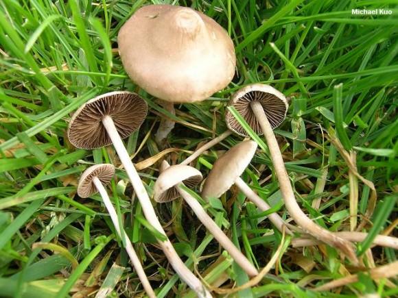 PHOTO: Panaeolus foenisecii, or lawn mower's mushroom