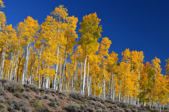 """The Pando, or """"Trembling Giant,"""" is a colony of clonal quaking aspens roughly 80,000 years old, in Fish Lake, Utah."""