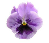PHOTO: Pansy blossom