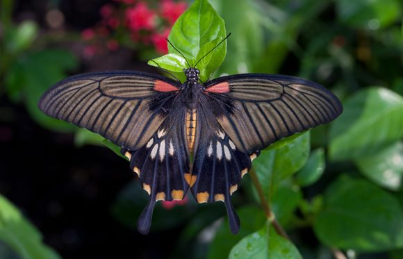 Papilio lowii (Great yellow mormon) butterfly by Anne Belmont.