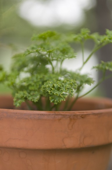 PHOTO: Parsley in a pot.