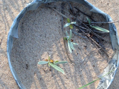 PHOTO: Pitcher's thistle seedlings sprouted in one of our seed baskets at the Ship Canal Nature Preserve.