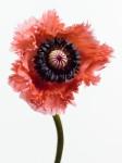 Bette is part of Big Blooms by Paul Lange