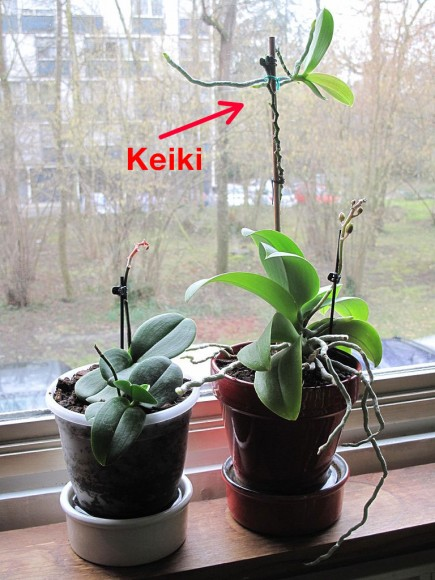 PHOTO: Phalaenopsis orchid with keiki (baby orchid offshoot).