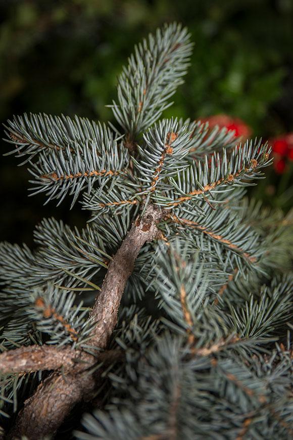 PHOTO: Colorado blue spruce (Picea pugens 'Procumbens')