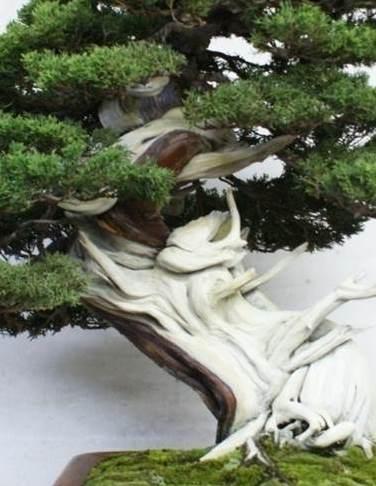 PHOTO: This juniper displays amazing shari.