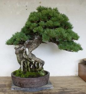 Pre-wintered bonsai pine.