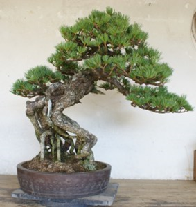 The same bonsai pine after overwintering prep.