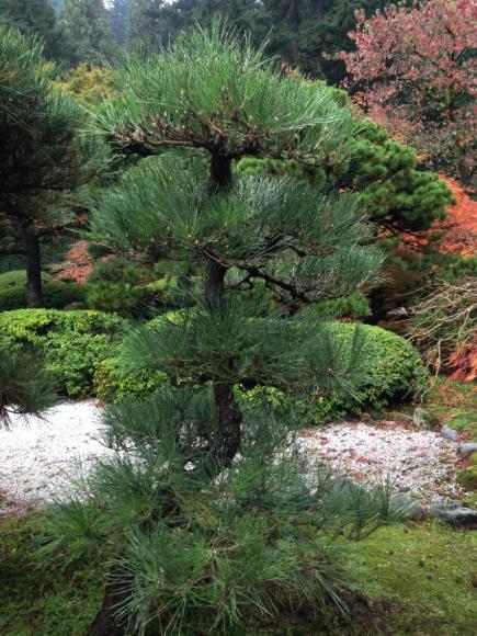 PHOTO: Japanese black pine after pruning.