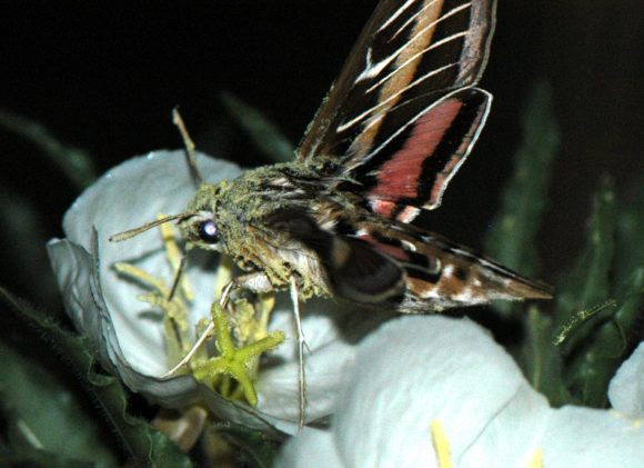 Hyles lineata visits an Oenothera harringtonii flower; note the pollen on the moth's head and body. (Photo: S. Todd)