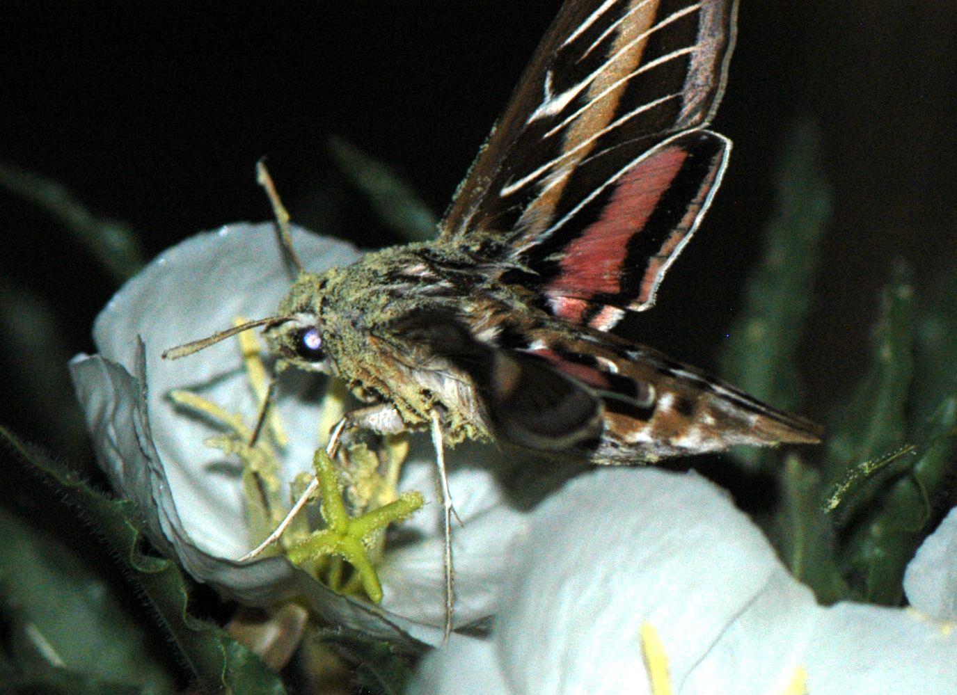 Hawkmoth Pollination Promotes Promiscuity in Plants