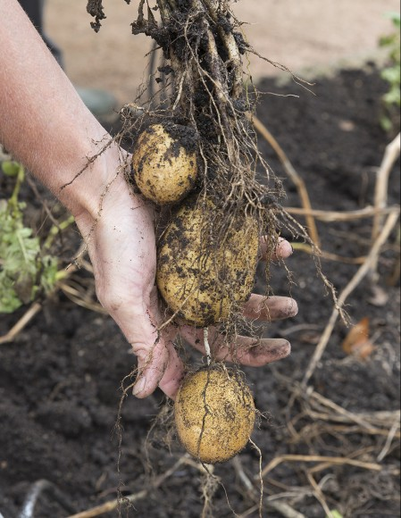 Potato harvest.