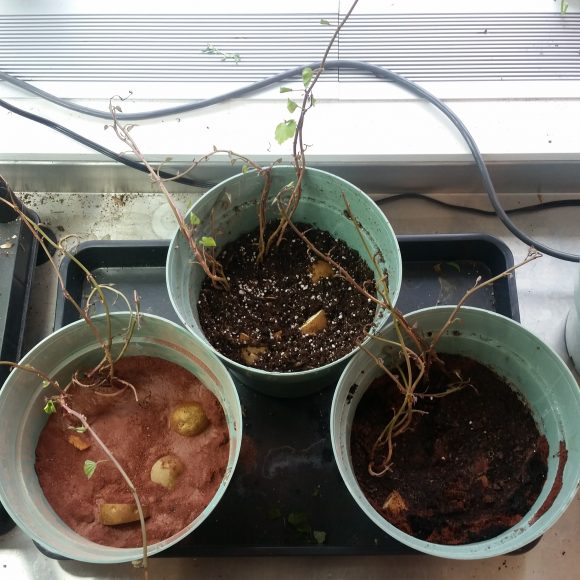 PHOTO: Three 10-inch pots with potatoes planted in each of the soil conditions: Martian soil, potting soil, and mixture of Martian soil with vermicompost