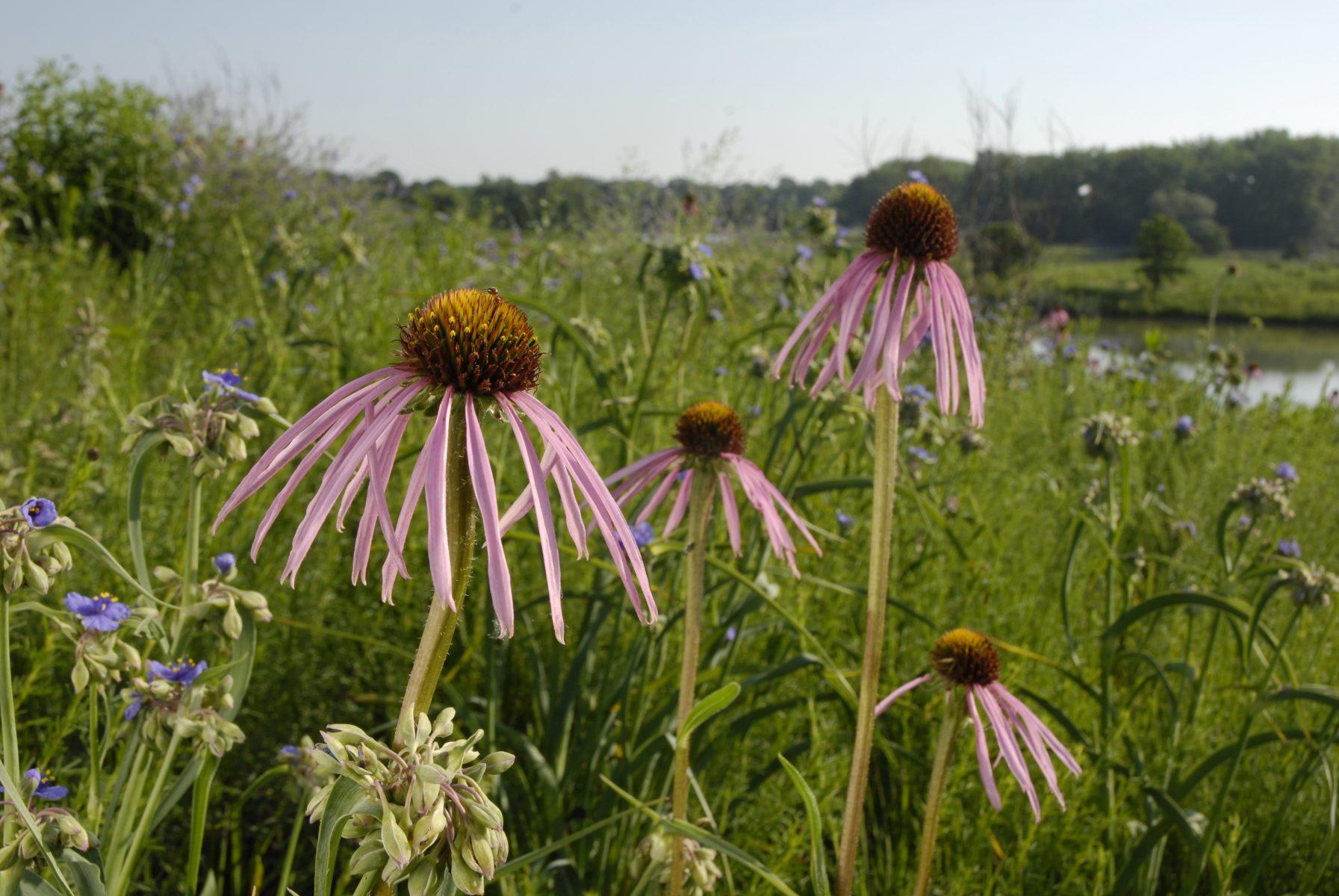 Prairie Blooms Beckon