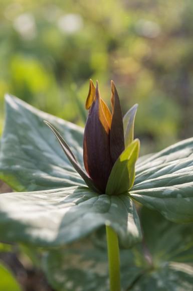PHOTO: Prairie trillium (Trillium recurvatum).