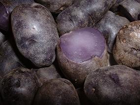 Purple Peruvian potatoes (Solanum andigenum)