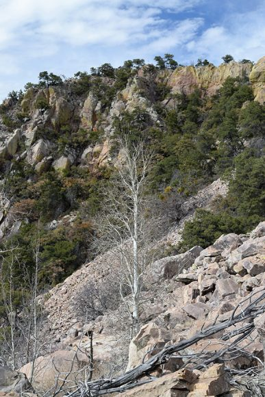 The chalk-white bark of these quaking aspens (Populus tremuloides) contrasts with the Mexican pinon pine (Pinus cembroides) growing amongst the boulder field.