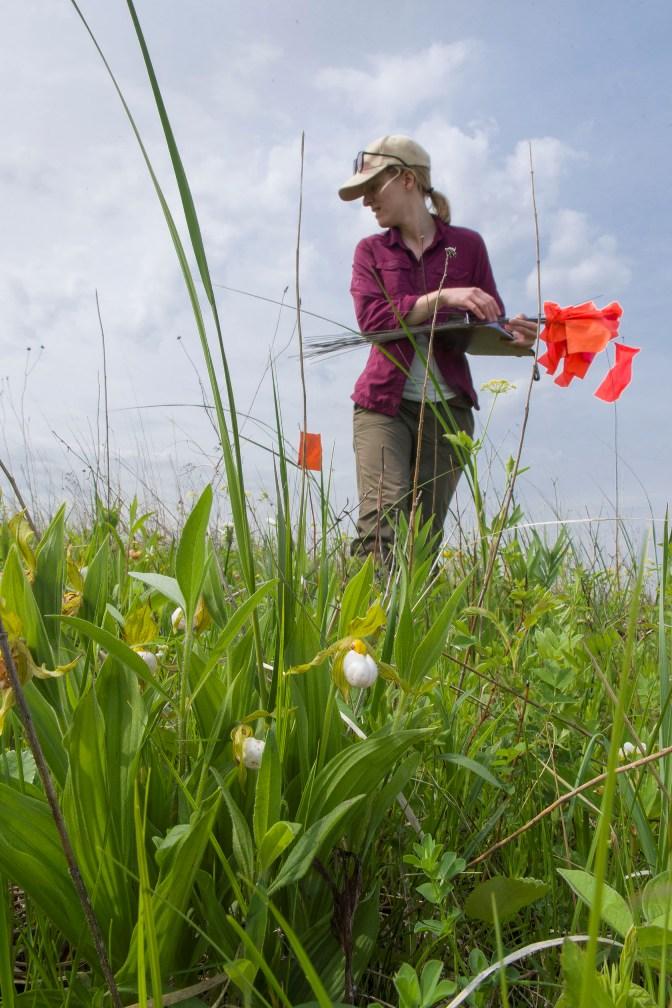 PHOTO: Rachel Goad plants marker flags in the field.