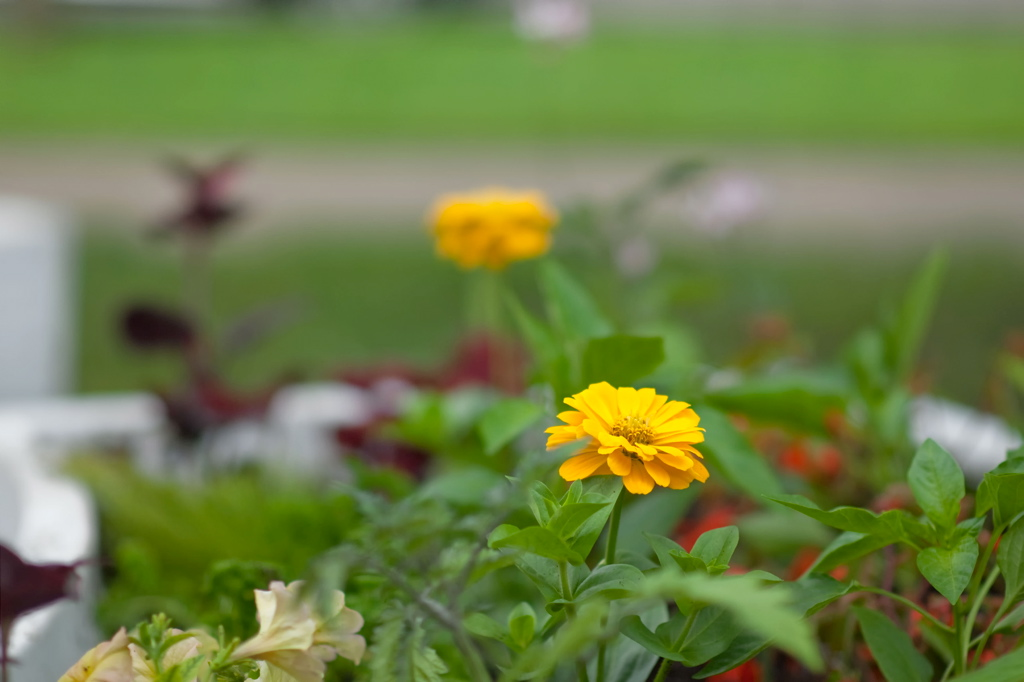 PHOTO: Marigolds in bloom.