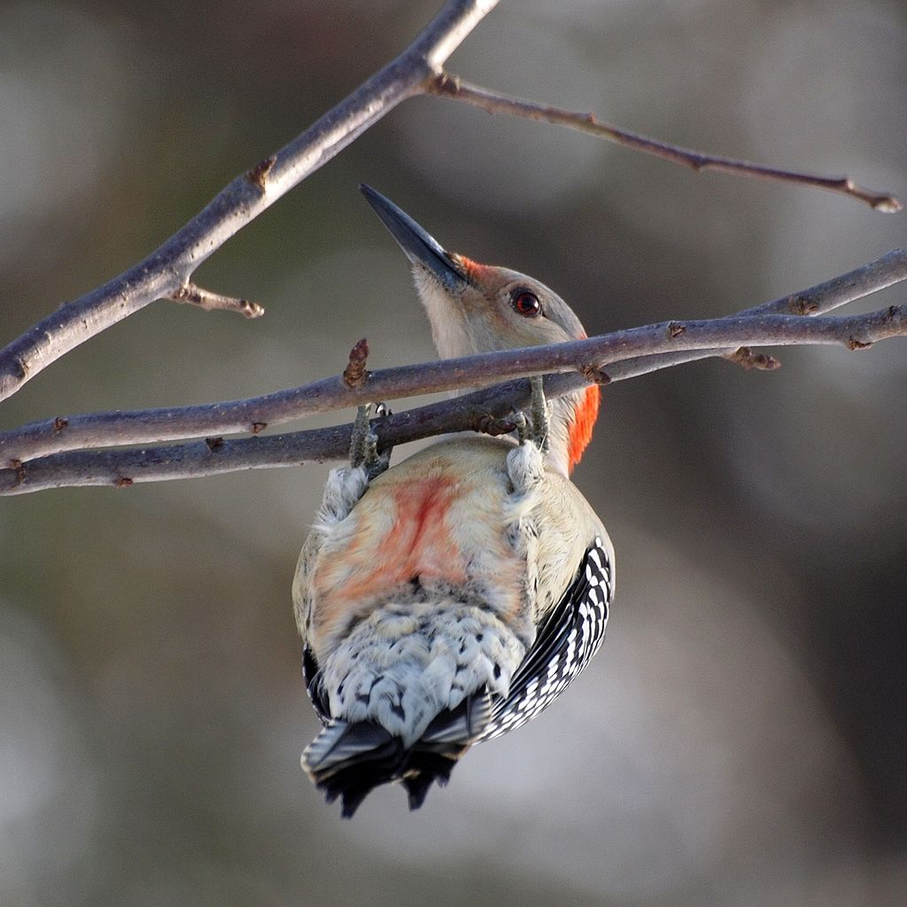 PHOTO: A red-bellied woodpecker hangs upside down from a branch. From this angle, it's name makes a lot more sense.