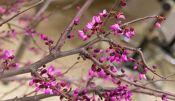 Redbud (Cercis canadensis)