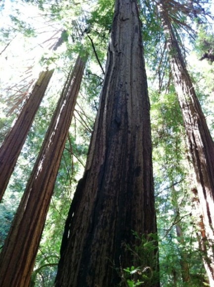 PHOTO: A view up into the redwood canopy.