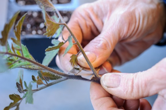 PHOTO: Removing the leaves from the tomato scion graft.