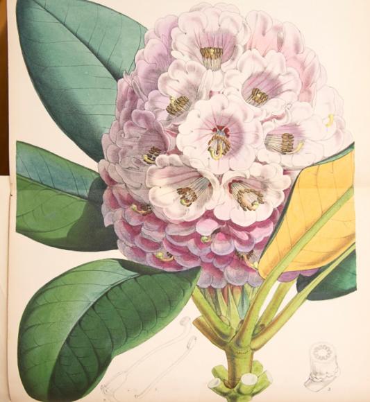 ILLUSTRATION: Rhododendron hogsonii.