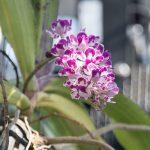 Rhynchostylis orchid