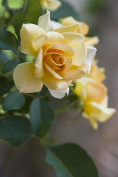 Rosa 'Jacarque'.