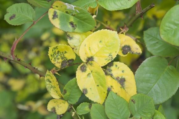 PHOTO: Black spot infects rose foliage.