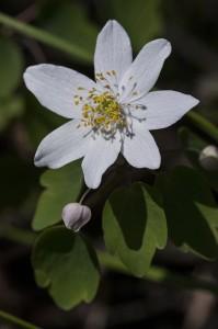 PHOTO: Rue-anemone