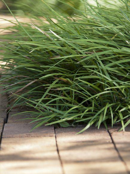 Liriope spicata
