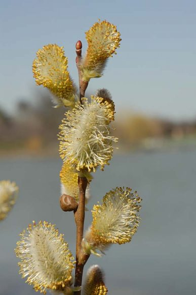 American pussy willow (Salix discolor)