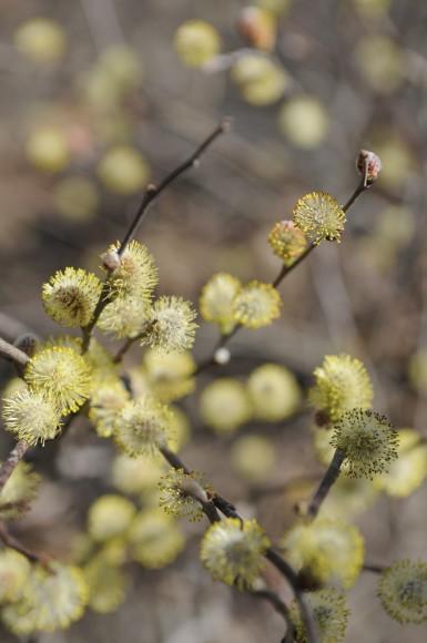 PHOTO: Salix tarraconensis catkins in winter.