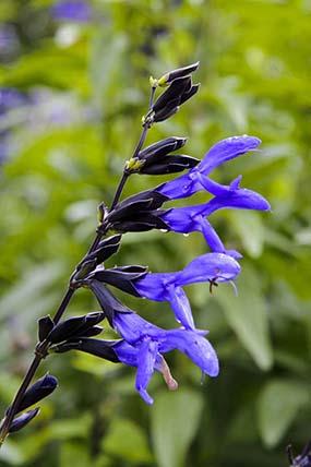 Black and Blue sage (Salvia guaranitica 'Black and Blue')