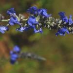 Salvia azurea 1
