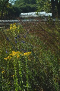 PHOTO: Stiff goldenrod (Solidago rigida)