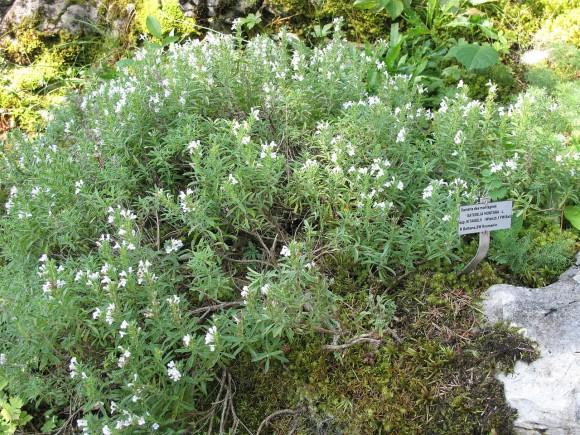 PHOTO: Winter savory (Satureja montana).