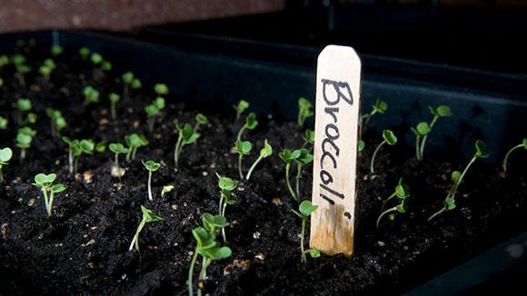 PHOTO: Broccoli seedlings