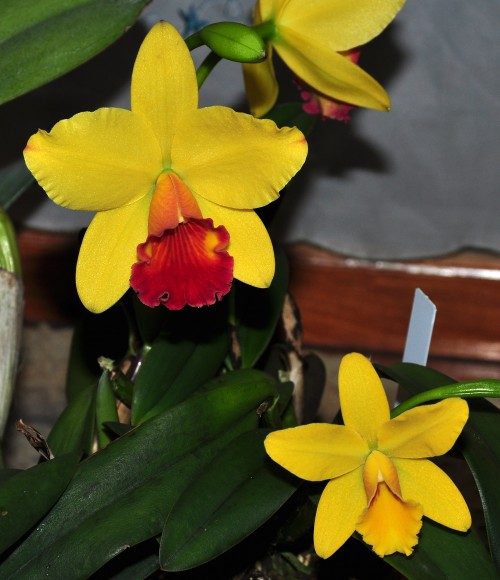 PHOTO: Slc. Little Toshie 'Gold Country' (upper) and Sc. Seagull's Beaulu Queen (lower).