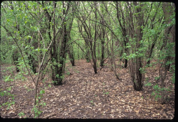 Buckthorn-dominated area; there is almost no vegetation beneath it. Photo: Jim Steffen